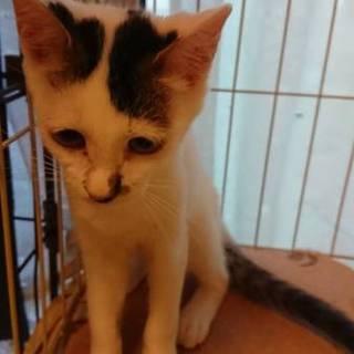 白猫ブチ柄5~6ヵ月メス、サーモンちゃん