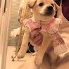 小さいラブラドールの様な女の子 1ヶ月