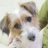 保護犬ナンバーD1279ジャックラッセルテリア