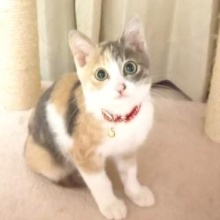 スモーキーカラーの三毛猫ララちゃん