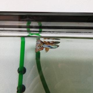 国産グッピー♂ 稚魚13匹