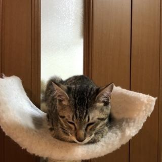 可愛いキジトラ子猫ちゃん★男の子★