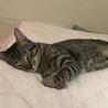 9ヶ月の猫ちゃん♂〈シグ〉 サムネイル3