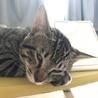 9ヶ月の猫ちゃん♂〈シグ〉 サムネイル5