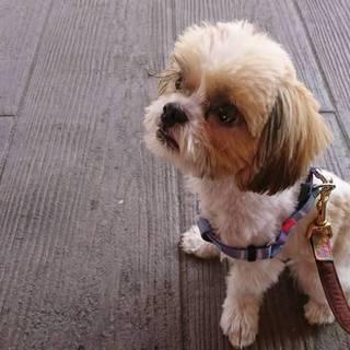人懐こい 可愛い シーズー小型犬  小さい子犬 !