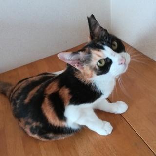 美しい色彩の三毛柄!落ち着いた大人猫さんです。