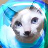4.5ヶ月シャムMIX甘えん坊ブルーアイ♂抱っこ猫
