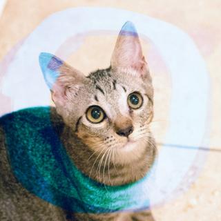ぬいぐるみ猫♡ネアン5ヶ月ベンガル風キジトラ