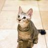 ぬいぐるみ猫♡ネアン5ヶ月ベンガル風キジトラ サムネイル2