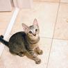 ぬいぐるみ猫♡ネアン5ヶ月ベンガル風キジトラ サムネイル5