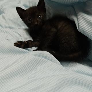 【急募】生後2ヵ月前 黒ネコ「推定オス」
