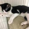 生後半年!かわいいハチワレの黒白猫さん サムネイル6