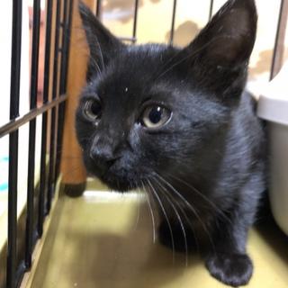 黒猫の子猫の里親募集です。