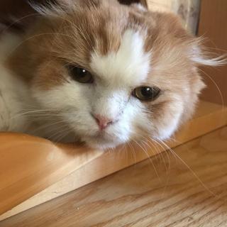 保護猫 スコティッシュ 長毛のふーちゃん