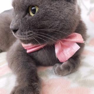 シャルトリュー☆ブリティッシュショートヘアー美猫