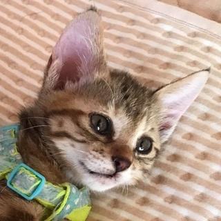 先住猫歓迎 おしゃべり大好き!猫も人も好きお転婆猫