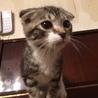 純血のスコティッシュの子猫 サムネイル2