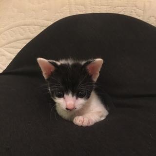 ◆ちょびヒゲ ナツ君 子猫 1.5ヶ月齢◆