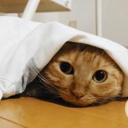 3回目のうちの子記念日を迎えたうちの茶トラ猫です