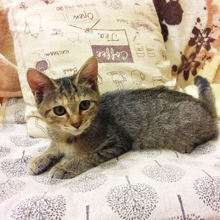 甘えっこのキジトラ女の子 先住猫さんOK