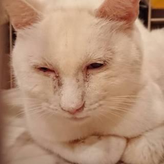 おっとりのんびりした性格の白猫ほわちゃん♀