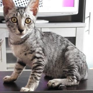 ワイルドなお顔のシルバー子猫