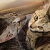 ワイルドなお顔のシルバー子猫 サムネイル3