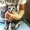 ワイルドなお顔のシルバー子猫 サムネイル5