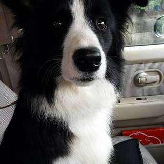 他犬❌  ボーダーコリーの女の子