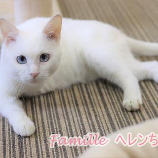3本足の天使  白猫のヘレンちゃん 里親募集中!
