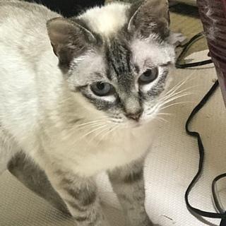 美猫のシャムミックス