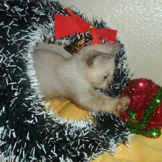 生後1か月のシャムミックス子猫 里親募集