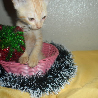 生後1か月の茶トラの子猫 里親募集