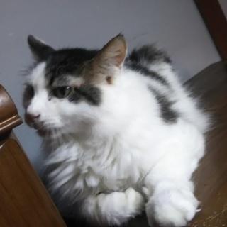 穏やかで優しい猫さん ふさふさロン毛のマーブルくん