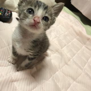 生後一ヶ月のメスの子猫