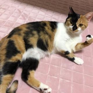 日本一美しい三毛猫・緋梅ちゃん