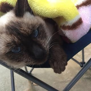 瞳が綺麗なシャム猫
