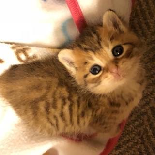麦わら色の赤ちゃん子猫