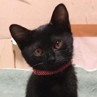 正統派黒猫!マイペースな甘えんぼ3ヶ月齢