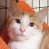 珍しい茶白の女の子!キラちゃん☆約4ヶ月 サムネイル2