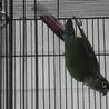 ワキコガネイロウロコインコ 3羽
