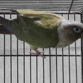 ホオミドリアカオウロコインコ 7羽