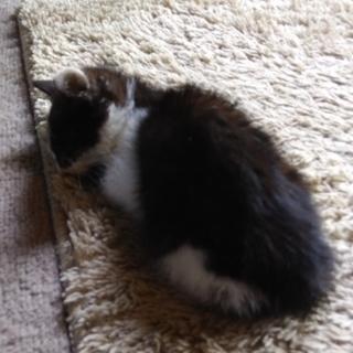 生後1、2ヶ月のメス猫の里親募集しています。