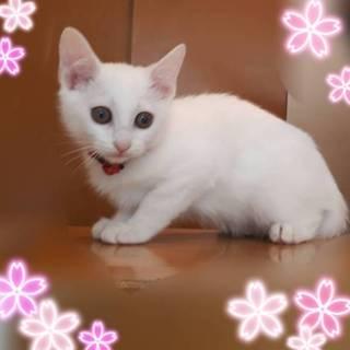 3ヶ月半位 メス 真っ白可愛いミチルちゃん!