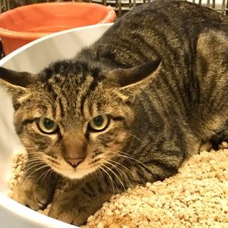 立派な体格で若そうな印象のキジトラ成猫