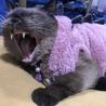 ネグレストから解放されたシャム系猫、チャーコくん サムネイル3