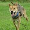 スタイル抜群、ずばぬけた運動能力の屋久島犬 サムネイル3