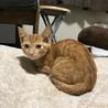 人も猫も大好き 茶トラ マイケル君 2ケ月 サムネイル3