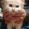ベージュの子猫