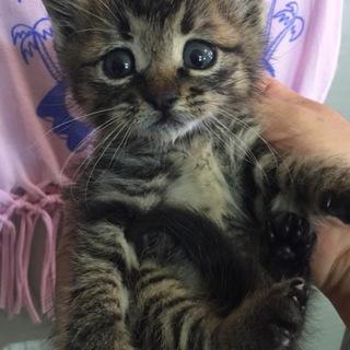 子猫 キジトラ 元野良です。1ヶ月くらいの男の子